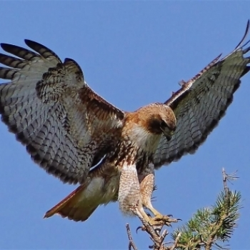 Hawk Investor