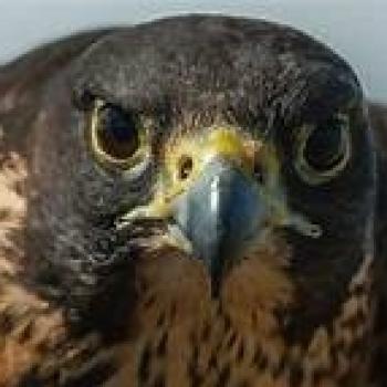 halcon seeker